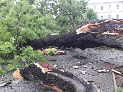 У Луцьку впало знамените дерево – Лесин ясен