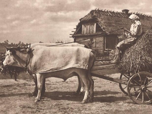 основною тягловою силою на Поліссі колись були воли